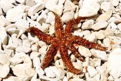 Sea star sitting on stoned beach Royalty Free Stock Image