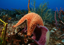 Sea Star and Sponge - Cozumel, Mexico Royalty Free Stock Image