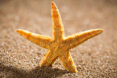 Sea star or starfish Stock Photo