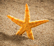 Sea star or starfish on the beach Stock Photos