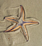 Sea star. Starfish in the sand on a beach Royalty Free Stock Photos
