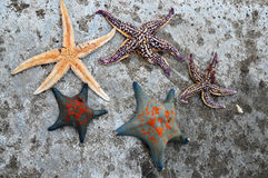 Sea stars Stock Images