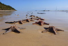 Sea stars on the beach Royalty Free Stock Photo