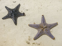 Sea stars Royalty Free Stock Image