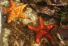Sea stars. Beautiful starfish caught in the Smithsonian natural park, located in the Amador area, Republic of Panama Stock Image