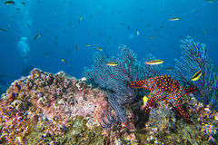 Sea stars in a reef colorful underwater landscape Stock Photos