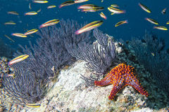 Sea stars in a reef colorful underwater landscape Royalty Free Stock Image