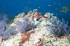 Sea stars in a reef colorful underwater landscape Royalty Free Stock Images
