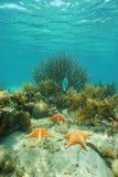 Sea stars underwater on coral reef Caribbean sea Stock Images