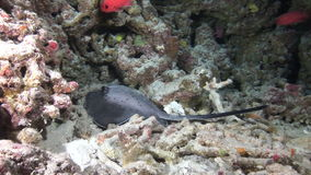 Sea stingray on background school of red fish and corals underwater in Maldives. stock footage