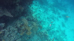 Sea stingray and other fish swimming near coral reefs stock footage