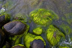 Sea stones with green moss. Wet sea stones covered with green seaweed Royalty Free Stock Photography