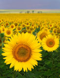 Sea of sunflowers. Sunflower crop in a rural setting Stock Image