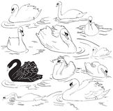 Sea Swans Royalty Free Stock Images