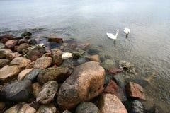 Sea swans Royalty Free Stock Photo