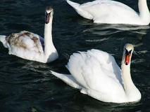 Sea swans Royalty Free Stock Photos