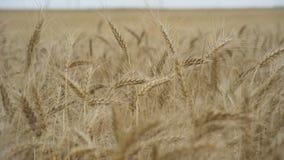 A sea of swaying field of wheat spikelets. Yellow ears wheat sway in the wind, Ears of rye swaying in the wind and in. Yellow ears wheat sway in the wind, Ears stock video