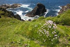 Sea Thrift (Armeria maritima) flowering Stock Image