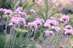 Sea thrift - Armeria maritima , flowers blooming in a meadow Stock Photos