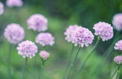 Sea thrift - Armeria maritima , flowers blooming in a meadow Royalty Free Stock Images