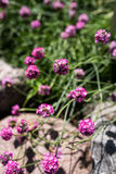 Sea thrift, Armeria maritima. Flowers in a rock garden, during summer in Finland Stock Images