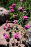Sea thrift, Armeria maritima. Flowers in a rock garden, during summer in Finland Royalty Free Stock Photo