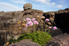 Sea thrift on cliff Stock Photos