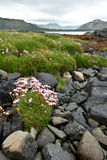 Sea thrift flowers coast Scotland Royalty Free Stock Photography