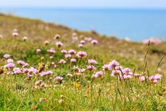 Sea Thrift Flowers. Pretty sea thrift flowers growing on a cliff in Seaford in Sussex Stock Photography