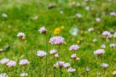 Sea Thrift Flowers. Growing in the countryside near Seaford in Sussex Royalty Free Stock Photos