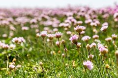 Sea Thrift Flowers. With a shallow depth of field Royalty Free Stock Photos