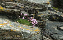 Sea Thrift Royalty Free Stock Images