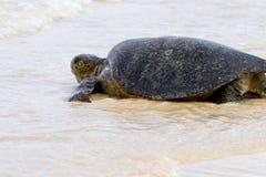 Sea Tortoise. Heading toward the water in the Galapagos Islands Stock Photo