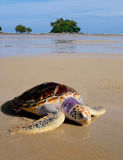 Sea tortoise on the beach near the sea with pretty small island Royalty Free Stock Photos