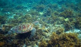 Sea tortoise eat seaweed on sea bottom. Tropical island seashore nature. Stock Photos