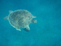 Sea tortoise emerges Stock Photography