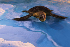 Sea Tortoise Entering Beach Royalty Free Stock Images