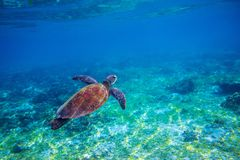 Sea tortoise in sea water. Marine green sea turtle closeup. Wildlife of tropical coral reef. Wild tortoise undersea. Tropical sea shore animal. Seaturtle in Stock Photo