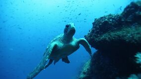 Sea tortoise turtle on background colorful corals underwater in sea of Galapagos.