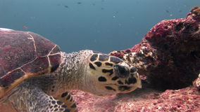 Sea tortoise turtle on background colorful corals underwater in sea of Maldives. stock footage