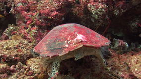 Sea tortoise turtle on background colorful corals underwater in sea of Maldives. stock video