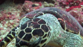 Sea tortoise turtle on background colorful corals underwater in sea of Maldives. stock video footage