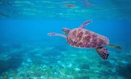 Sea tortoise in sea water. Marine green sea turtle closeup. Wildlife of tropical coral reef. Wild tortoise in water. Tropical sea shore animal. Marine turtle Stock Image