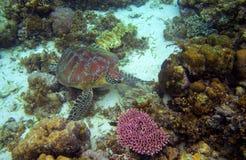 Sea tortoise in sea water. Marine green sea turtle closeup. Wildlife of tropical coral reef. Wild tortoise undersea. Tropical seashore animal. Marine turtle in Stock Photography