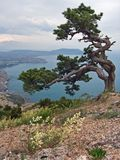 Sea and tree. Sea landscape with knotty crooked  pine-tree on mount on forefront, and Sudak coast on background (make from Sokol Rock, Novyj Svit reserve, Crimea Stock Image