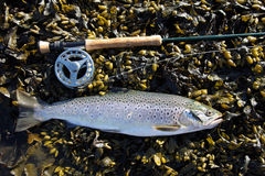 Sea Trout 1 Royalty Free Stock Image