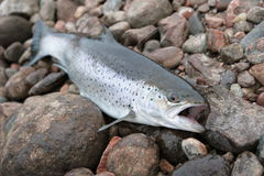 Sea trout. On the stons royalty free stock photography