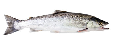 Sea trout fish Royalty Free Stock Images