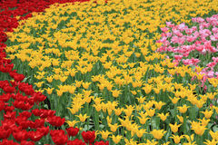 Sea of Tulips Stock Image