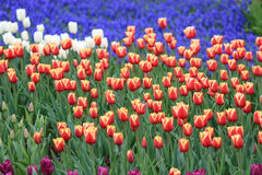 Sea of tulips with different colours Stock Image